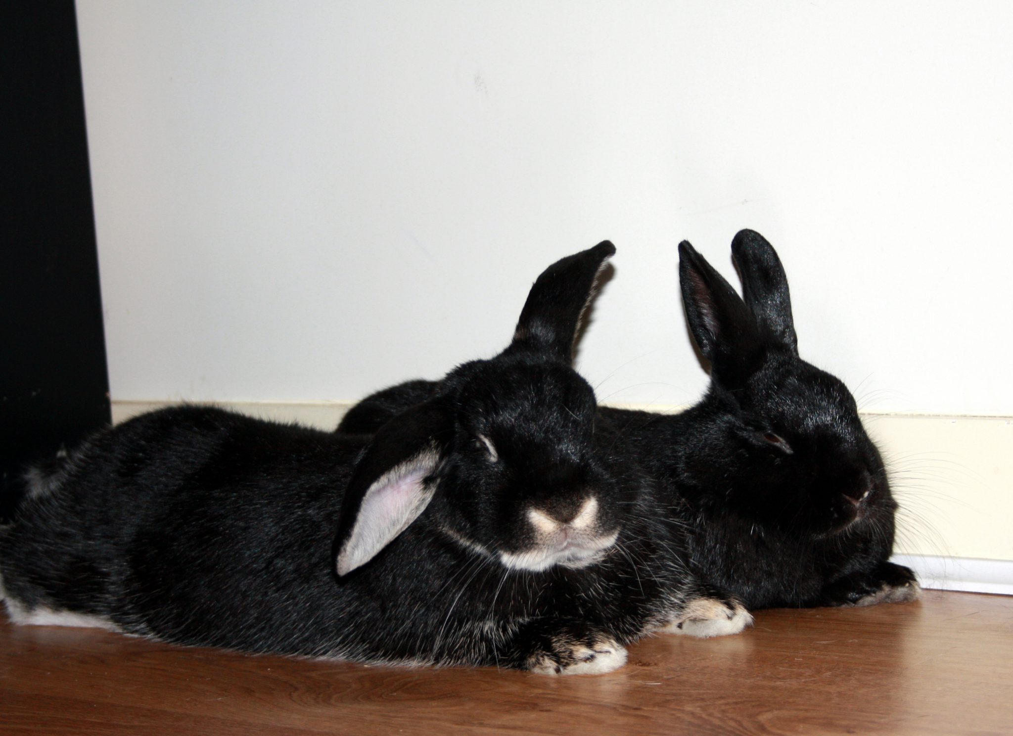Flopped bunnies