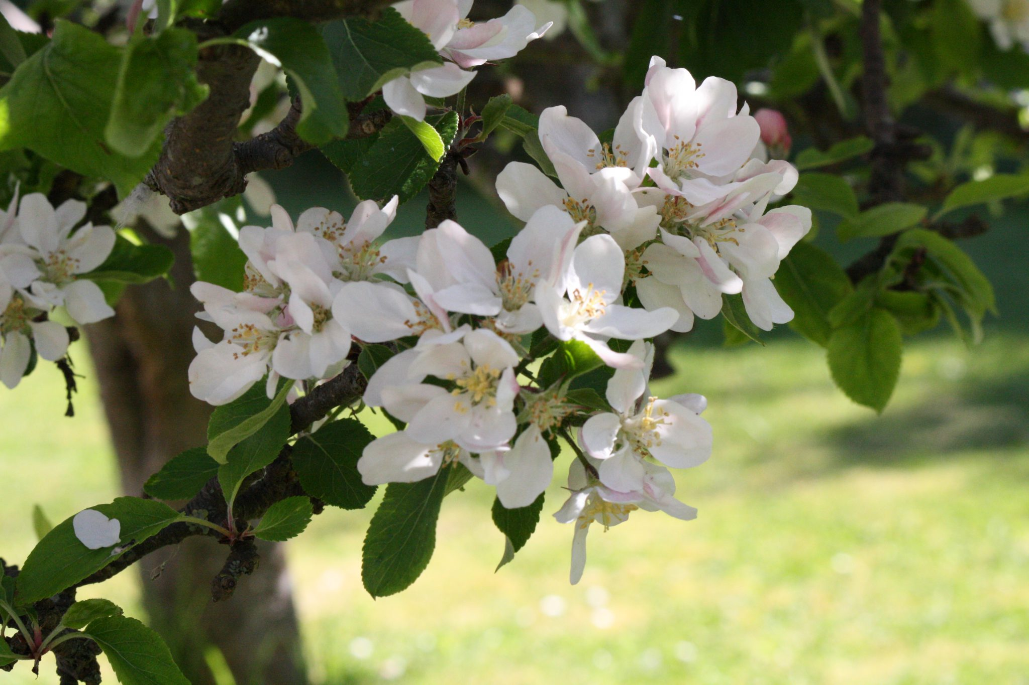 Apple blossoms in Spring.
